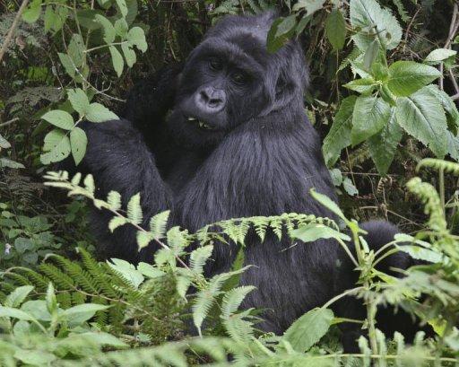 Un gorille des montagnes dans le parc national du massif des Virunga, au Rwanda, le 17 juin 2012 AFP Aude Genet