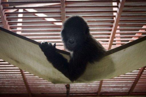 Un gorille orphelin est installé dans un hamac le 5 août 2012 dans un sanctuaire du parc des Virunga, en RDC AFP Michele Sibiloni