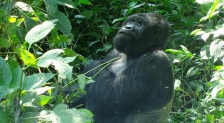 Un gorille du parc des Virunga. © Sandrine Rovere - Tous droits réservés