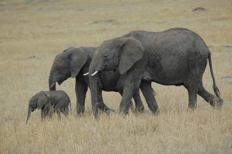 Elephant family - Masai Mara, by _Mrs_B via Flickr CC
