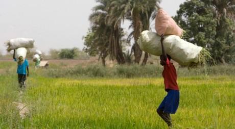 Rizière près de Richard-Toll, au Nord-Ouest du Sénégal. Reuters/Normand Blouin