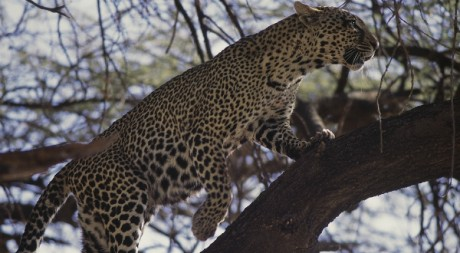 Leopard in the tree after hunting - Samburu, by frederic.salein via Flickr CC