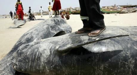 Des enfants debout sur des baleines qui ont échouées sur la plage de Yoff en mai 2008.REUTERS/Finbarr O'Reilly