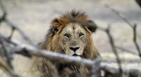 Un lion du parc national du Serengeti, Tanzanie, août 2012. © REUTERS/Noor Khamis