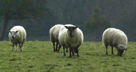 Moutons dans un champ de Deauville, France, 2001 / AFP