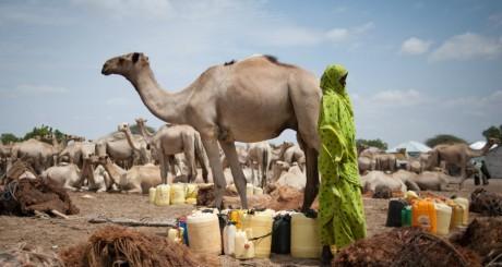 Chameau somalien, février 2011 / AFP