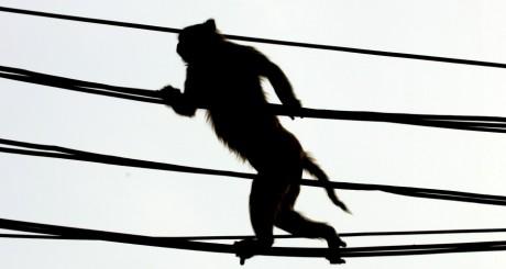 Grand singe debout sur des câbles électriques / REUTERS