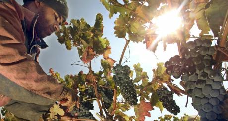Récolte de raisins / Reuters