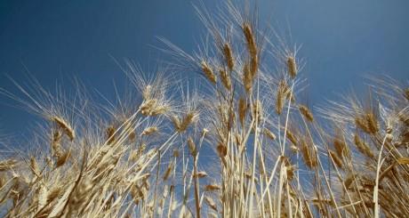 Champ de blé en Algérie / Reuters