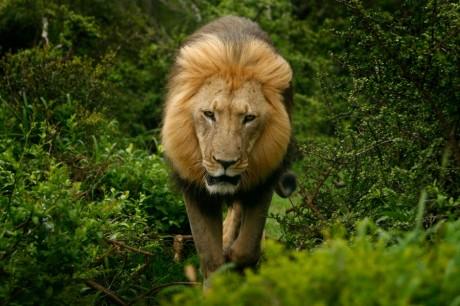 Un lion dans  la brousse dans le Addo en Afrique du Sud, REUTERS / Alex Grimm