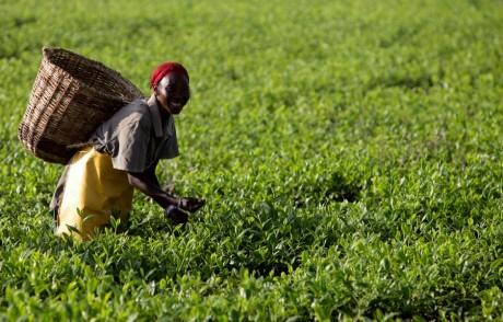 Employée d'une plantation à Kericho au Kenya ,REUTERS / Peter Andrews