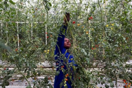 Un employé d'une plantation de tomates dans le nord de Durban en Afrique du Sud, REUTERS/Rogan Ward