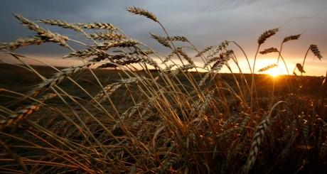 Un champ de blé en Sibérie / REUTERS