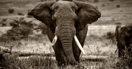 Éléphant de Tanzanie | Mark Robinson, via Flickr CC licence by