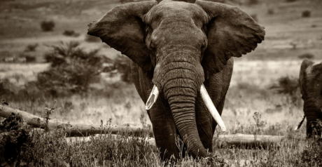 Éléphant de Tanzanie | Mark Robinson, via Flickr CC licence by