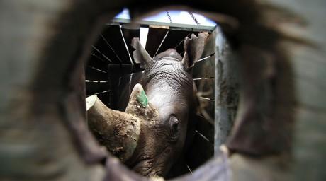 Un rhinocéros blanc sous sédatif pour être transporté dans un parc kényan. Crédit photo: REUTERS/Thomas Mukoya