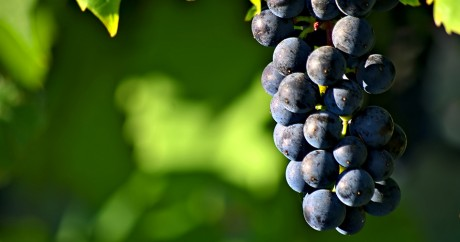 Grape season. Crédit photo: Michael Pardo via Flickr, License by CC.