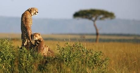 Des guépards dans le parc du Masai Marai, au Kenya, en 2008. Crédit photo: REUTERS/Radu Sigheti