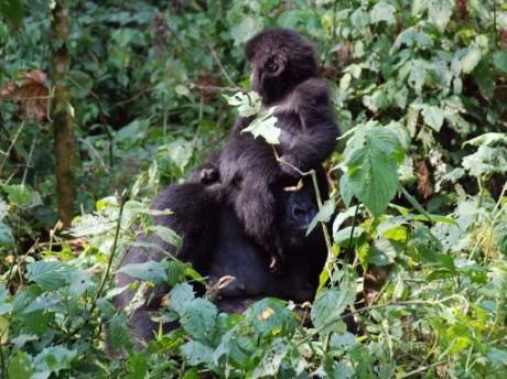 Des gorilles dans le Parc national des Virunga, dans l'est de la RDC, le 1er août 2015. Photo: AFP/Peter Martell