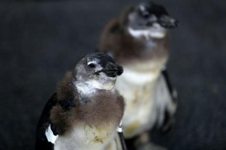Des petits manchots du Cap à la Fondation pour la conservation des oiseaux des côtes, au Cap, le 30 novembre 2013 AFP/Archives