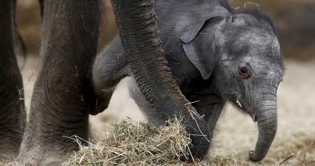 Un éléphant et son nouveau-né au zoo de Brugelette en Belgique, le 25 mai 2015. Crédit photo:  REUTERS/Francois Lenoir