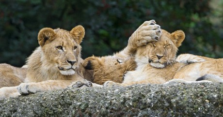 Lion cubs doing nonsense. Crédit photo: Tambako The Jaguar via Flickr, Licensed by CC.