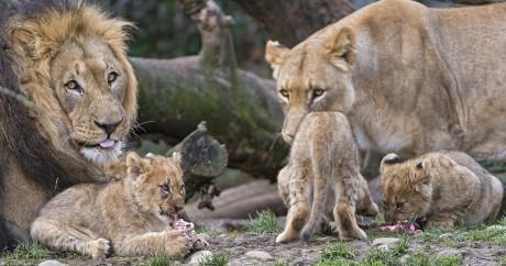 Une famille de lions. Crédit photo: Tambako The Jaguar via Flickr, licensed by CC.