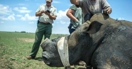 Un rhinocéros sous sédatif dans la réserve de Klerksdorp, le 3 février 2016. Crédit photo: MUJAHID SAFODIEN / AFP