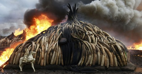 Plus grande incinération d'ivoire de l'histoire au Kenya, le 30 avril 2016. Crédit photo: FREDRIK LERNERYD / AFP