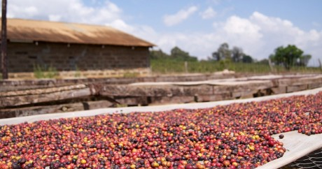 Une ferme à café au Kenya. Crédit photo: Adam Posey via Flickr, CC BY-SA