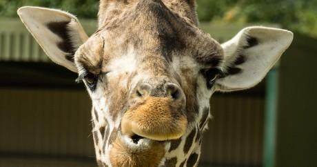 Une girafe qui mâchouille. Photo: Iain A Wanless via Flick. CC BY
