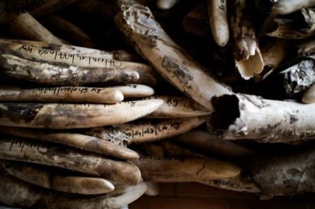 Une pile d'ivoire stocké avant destruction le 20 février 2014, à Zakouma au Tchad.  AFP/Archives MARCO LONGARI
