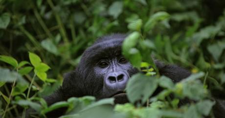 Un gorille dans le parc du Virunga au Congo, le 28 novembre 2008. ROBERTO SCHMIDT / AFP