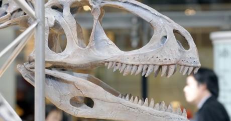 Un squelette de dinosaure au musée de Tokyo, le 19 février 2009. TOSHIFUMI KITAMURA / AFP