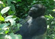 L'oasis qui veut sauver les gorilles