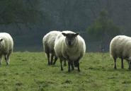 Utilisons des moutons à la place des tondeuses