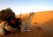 Le Mali va offrir un nouveau chameau à Hollande