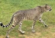 Botswana: ce que faisait le président pour être attaqué par un guépard