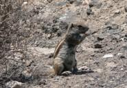 L'écureuil de Barbarie, la nouvelle proie des braconniers