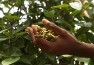 Goûtez au poivre de Penja ou à l'échalote dogon, et on en reparle