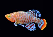 Les poissons africains sont sexuellement précoces, mais meurent jeunes