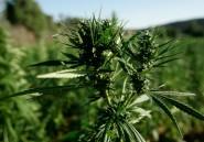 Droit de cité pour le cannabis marocain