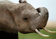 Ces éléphants qui savent parler aux humains