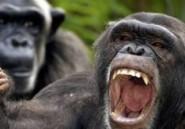 Le Chimpanzé et les Bonobos