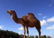 Mali : le chameau offert à François Hollande a fini dans une assiette