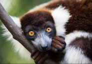 Des nouvelles espèces de lémuriens au Jardin Zoologique de Rabat