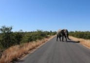 Afrique du Sud : l'homme chargeant un éléphant était un guide de safari