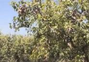 Tunisie-Agriculture : Les arbres fruitiers touchés par une bactérie très contagieuse