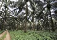 Cameroun : deux ONG réclament une enquête sur un projet de culture de palmiers à huile