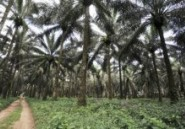 Cameroun : plainte contre un projet américain de culture de palmiers à huile